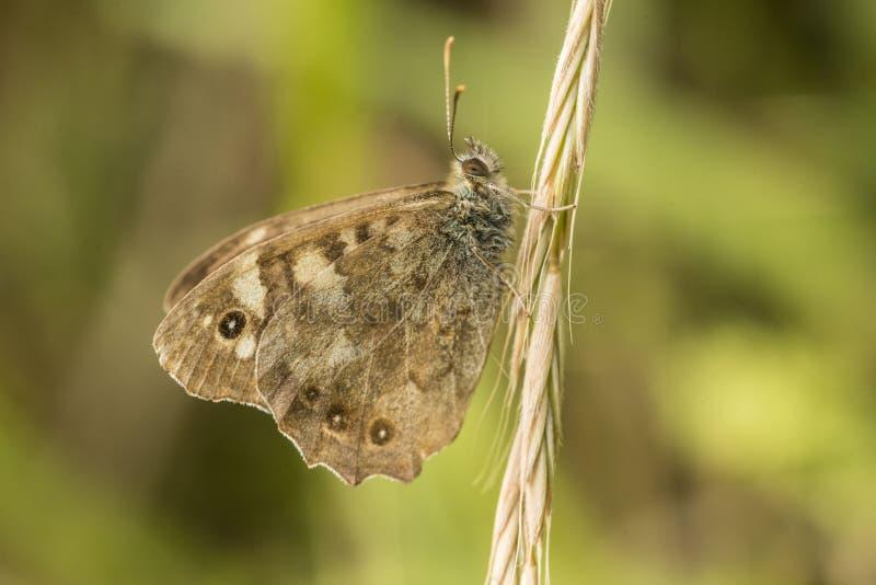 Mariposa en hierba en el verano imágenes de archivo libres de regalías