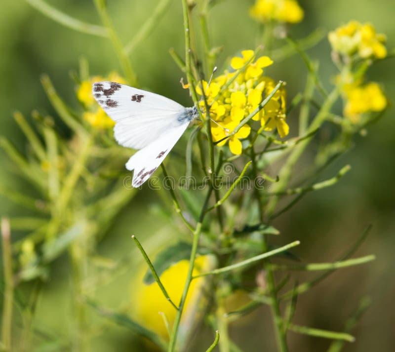 Mariposa en la flor amarilla en naturaleza imagen de archivo libre de regalías