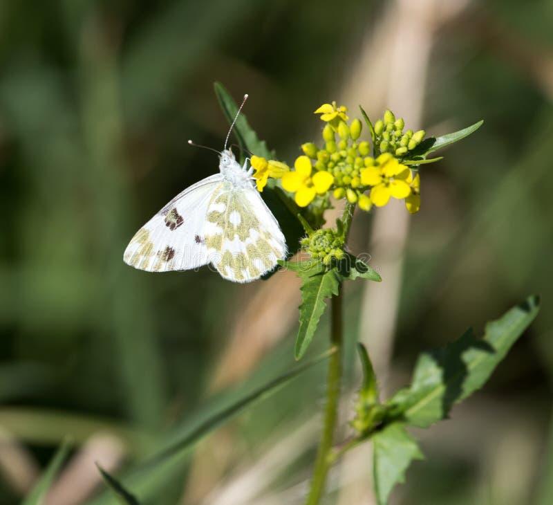 Mariposa en la flor amarilla en naturaleza foto de archivo