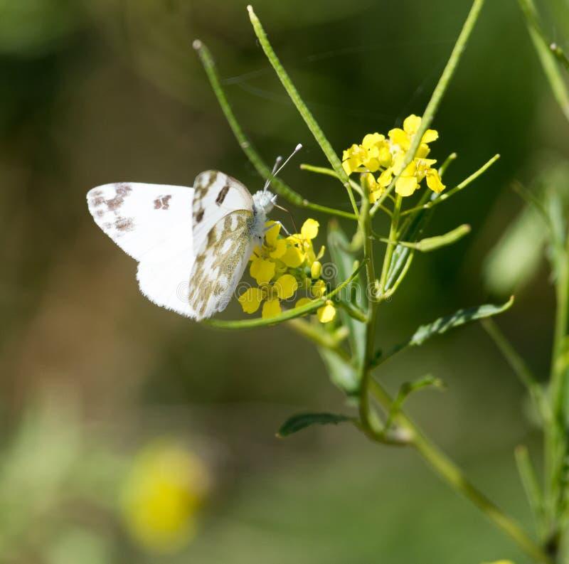 Mariposa en la flor amarilla en naturaleza imagenes de archivo
