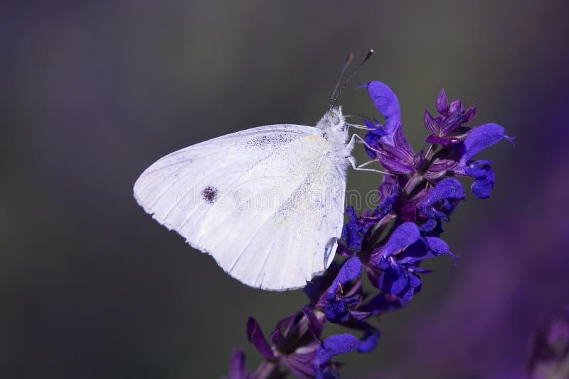 Mariposa en la flor azul foto de archivo