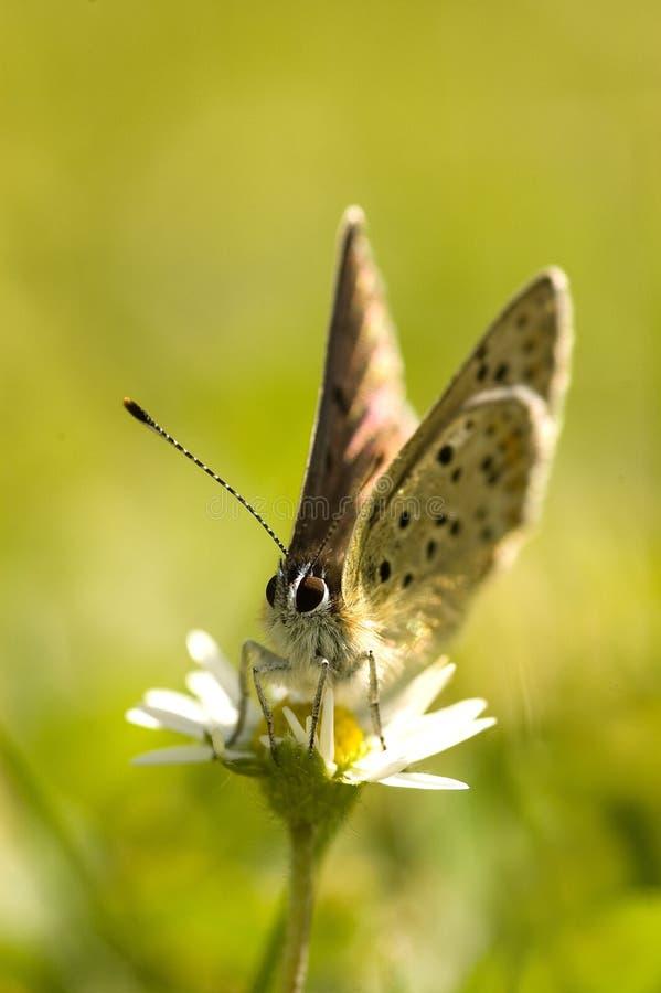 Mariposa en la flor de la margarita foto de archivo libre de regalías