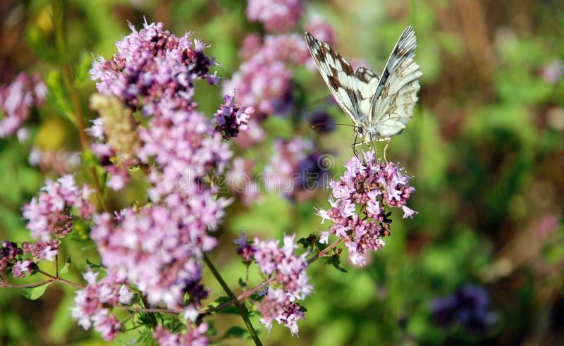 Mariposa en la flor púrpura fotografía de archivo libre de regalías