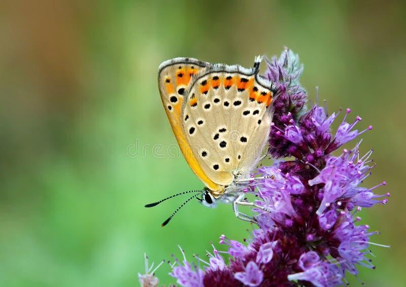 Mariposa en la flor púrpura, thersamon del Lycaena imagen de archivo libre de regalías