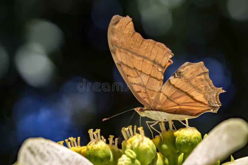 Mariposa en la flor que poliniza cerca para arriba foto de archivo