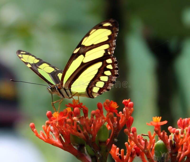 Mariposa en la flor roja fotografía de archivo libre de regalías