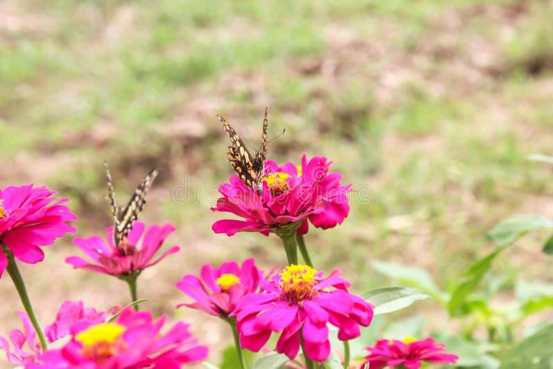Mariposa en la flor rosada imagen de archivo