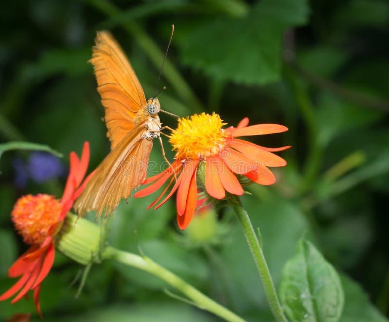 Mariposa en las flores anaranjadas imagenes de archivo