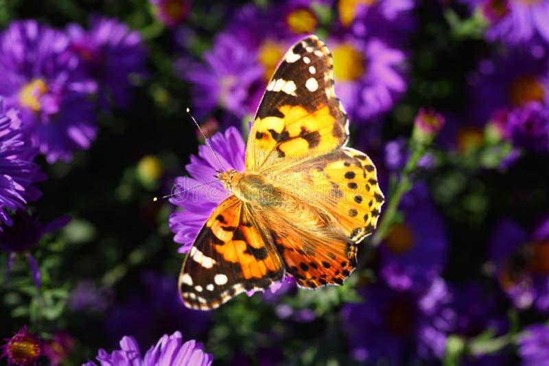 Mariposa en las flores azules imagenes de archivo