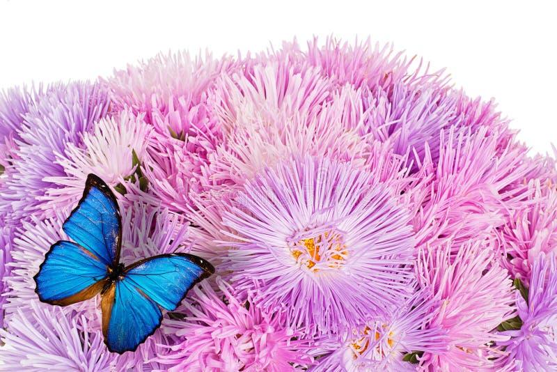 Mariposa en las flores púrpuras del aster imágenes de archivo libres de regalías