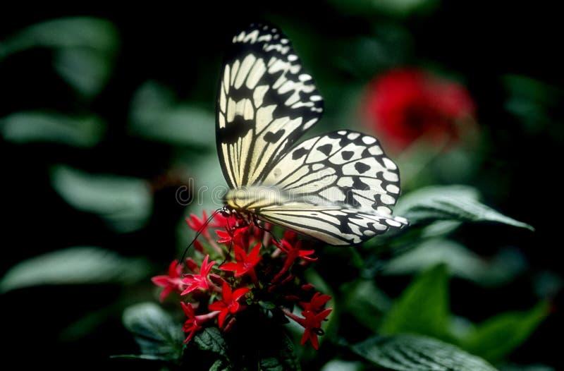 Mariposa en las flores rojas imagenes de archivo