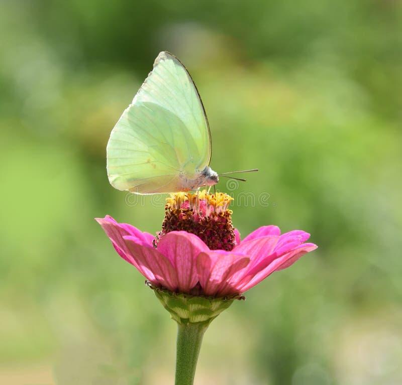 Mariposa en las flores rosadas fotografía de archivo
