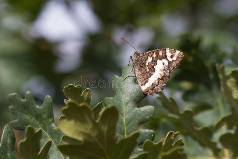 Mariposa en las hojas del roble fotografía de archivo libre de regalías