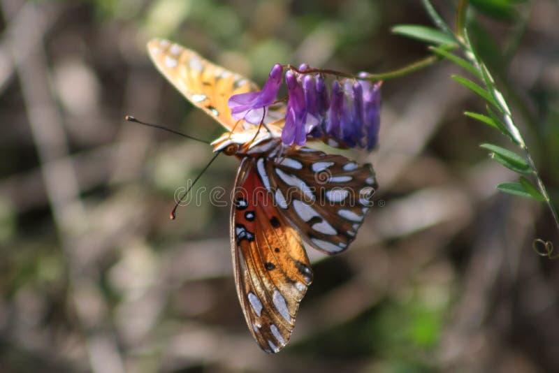 Mariposa en los pétalos violetas imagen de archivo libre de regalías