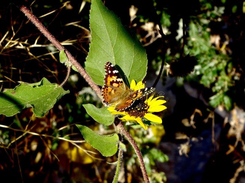 Mariposa en margarita imagen de archivo libre de regalías