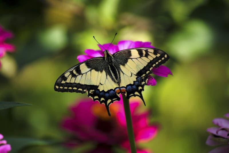 Mariposa en mi jardín imagen de archivo