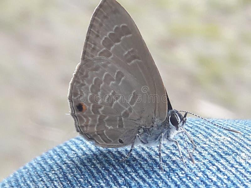 mariposa en mi revestimiento imagenes de archivo