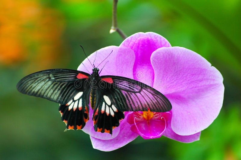 Mariposa en orquídea imagenes de archivo