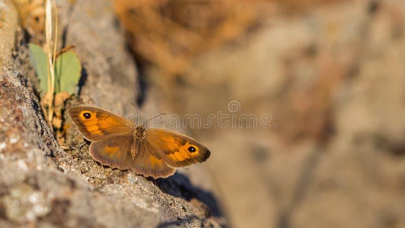 Mariposa en roca foto de archivo