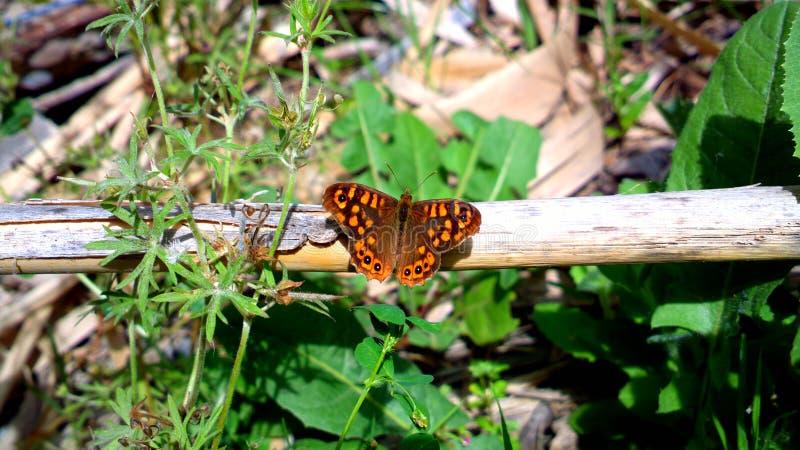 Mariposa en su estado natural. Día soleado con algunas nubes y arbolesn stock photography