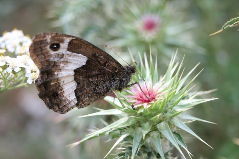 Mariposa en un Burdock imágenes de archivo libres de regalías