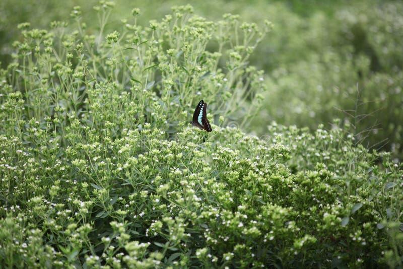 Mariposa en un campo del stevia fotografía de archivo libre de regalías
