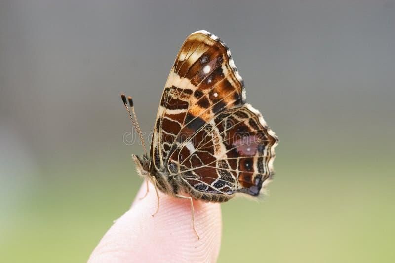 Mariposa en un dedo imagen de archivo