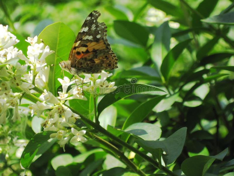 Mariposa en un flowe blanco Plantas ornamentales del follaje verde foto de archivo