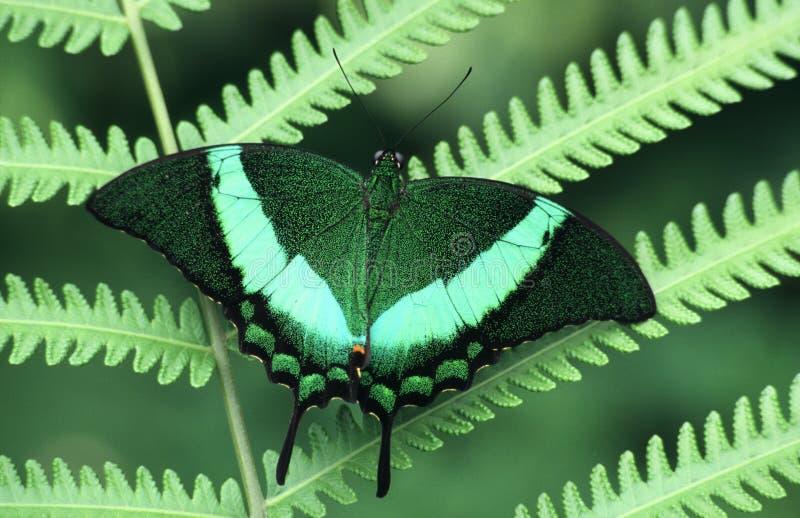 Mariposa en un helecho   imagen de archivo