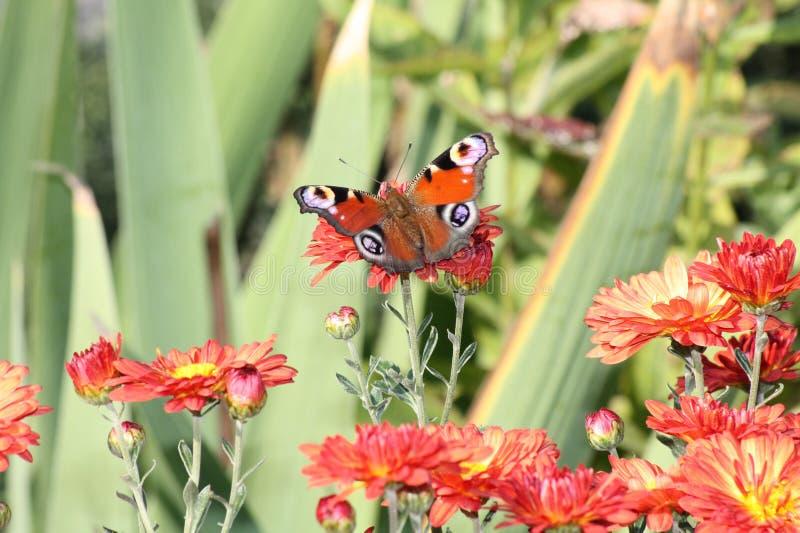 Mariposa en una flor. imagenes de archivo