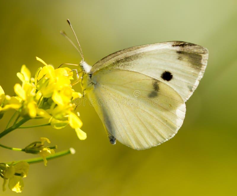 Mariposa en una flor amarilla en la naturaleza imagenes de archivo