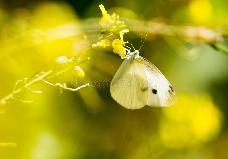 Mariposa en una flor amarilla en la naturaleza fotografía de archivo