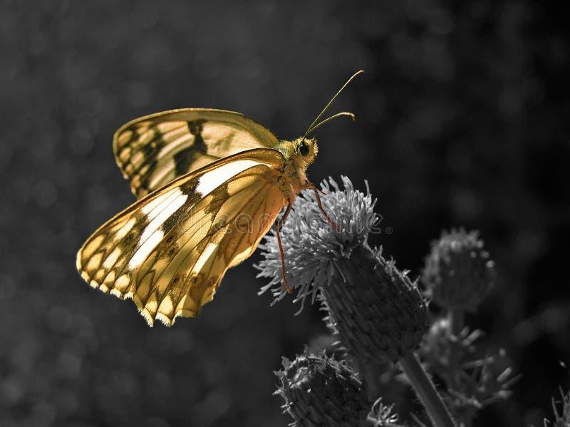 Mariposa en una flor en blanco y negro imagen de archivo