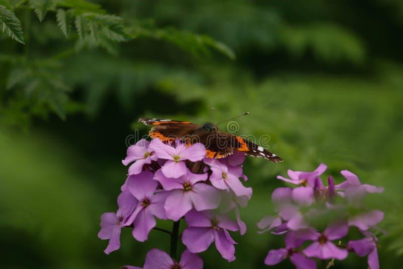 Mariposa en una flor p?rpura imagenes de archivo