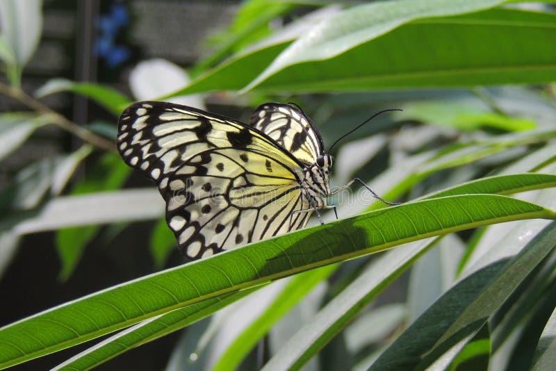 Mariposa en una hoja fotos de archivo libres de regalías