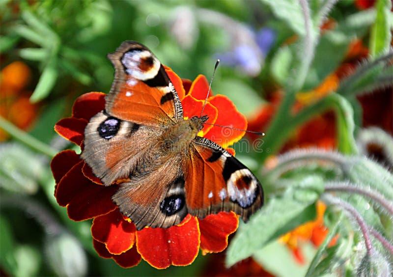 Mariposa en verano imagen de archivo libre de regalías
