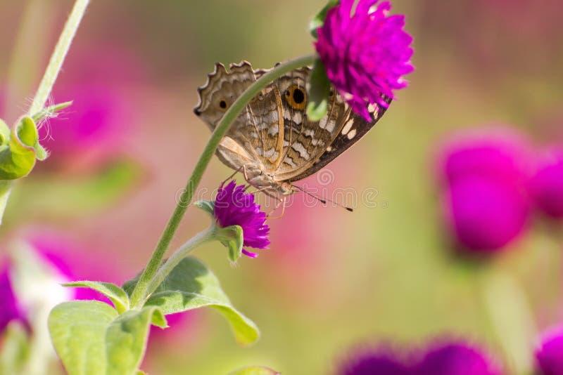 Mariposa encaramada en la flor rosada imagen de archivo libre de regalías