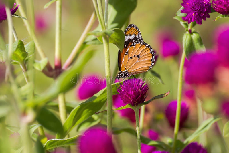 Mariposa encaramada en la flor rosada fotos de archivo libres de regalías