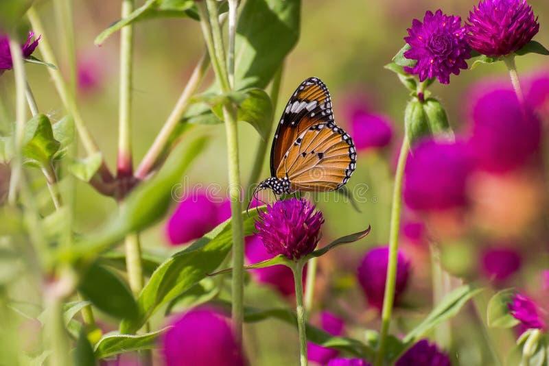 Mariposa encaramada en la flor rosada fotos de archivo