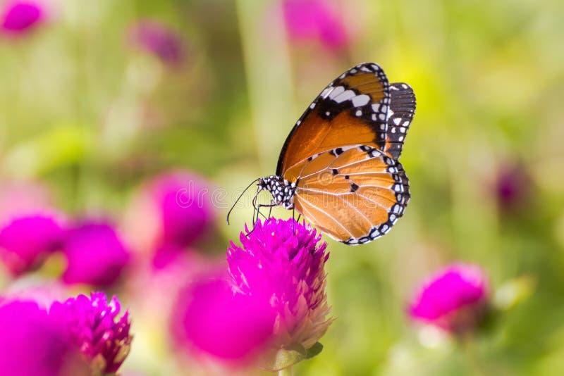 Mariposa encaramada en la flor rosada imagen de archivo