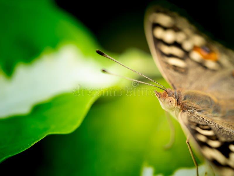Mariposa encaramada en la hoja verde blanca fotos de archivo libres de regalías