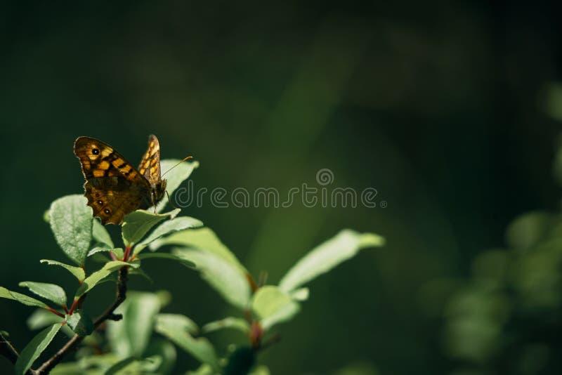 Mariposa encaramada en una hoja Primer de la familia de Pararge Aegeria de la especie - Nymphalidae Nombre ordinario: Maculada o  fotografía de archivo libre de regalías