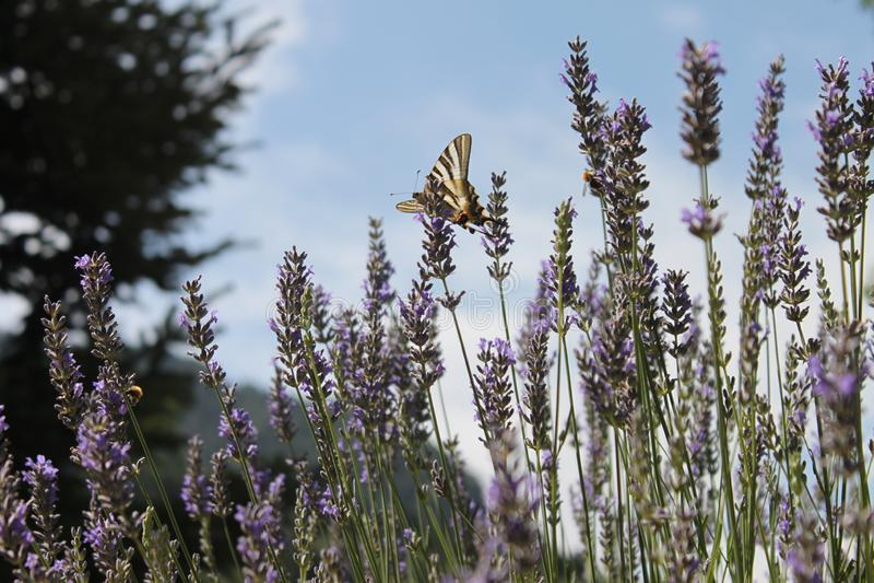 Mariposa entre las flores de la lavanda en un día de primavera foto de archivo