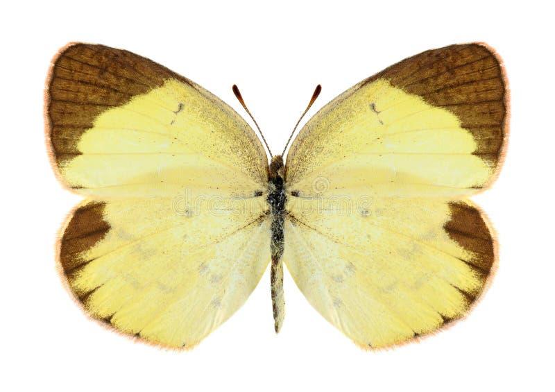 Mariposa Eurema Lisa (femenina) imágenes de archivo libres de regalías