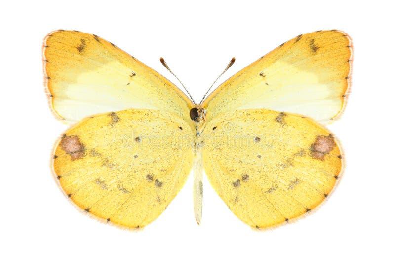 Mariposa Eurema Lisa (femenina) (superficie inferior) foto de archivo libre de regalías