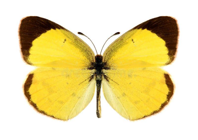 Mariposa Eurema Lisa (varón) imagen de archivo