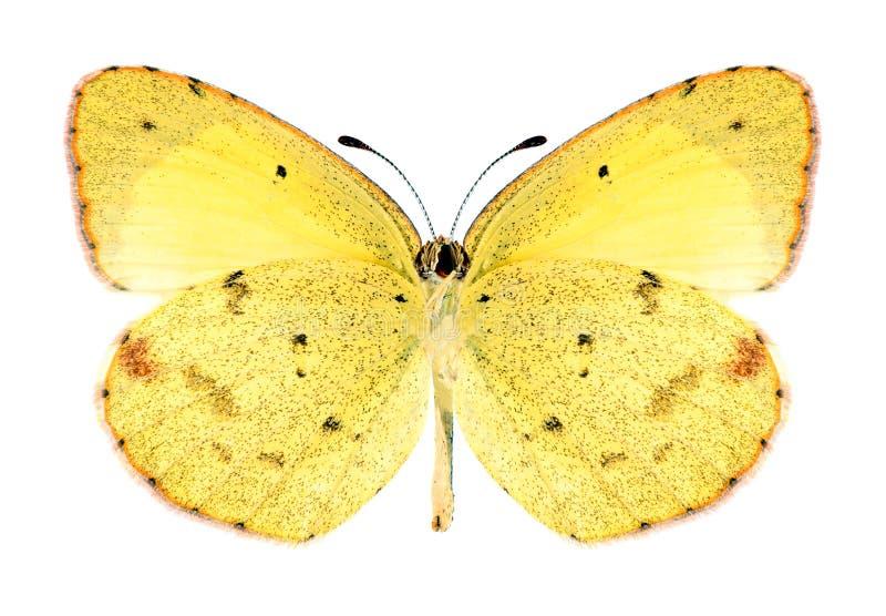 Mariposa Eurema Lisa (varón) (superficie inferior) imagenes de archivo