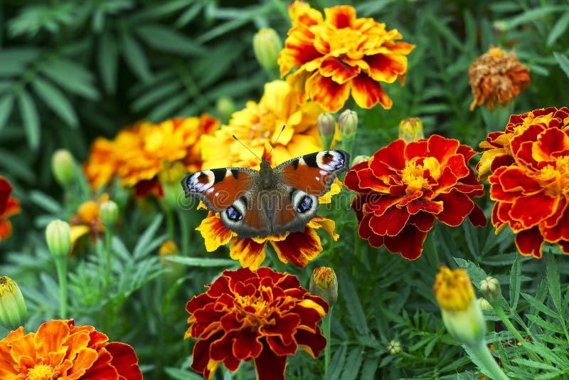 Mariposa europea de Aglais io del pavo real en la flor de Tagetes foto de archivo libre de regalías