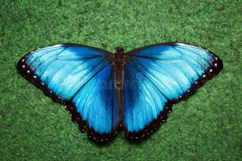 Mariposa exótica azul imágenes de archivo libres de regalías