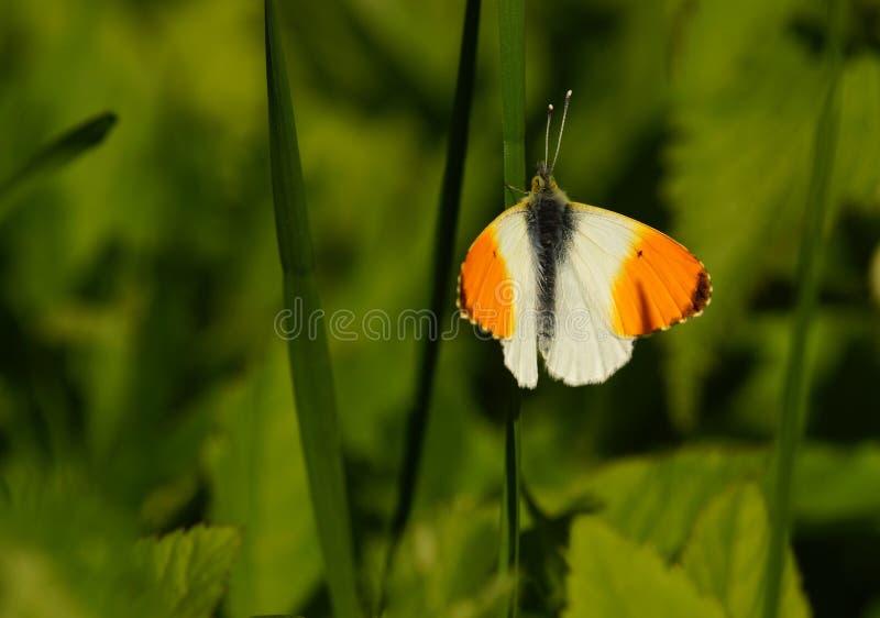 Mariposa - extremidad anaranjada foto de archivo libre de regalías
